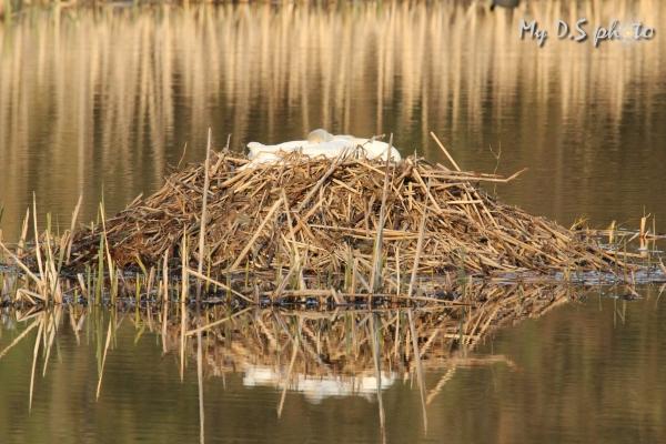 Swan nest