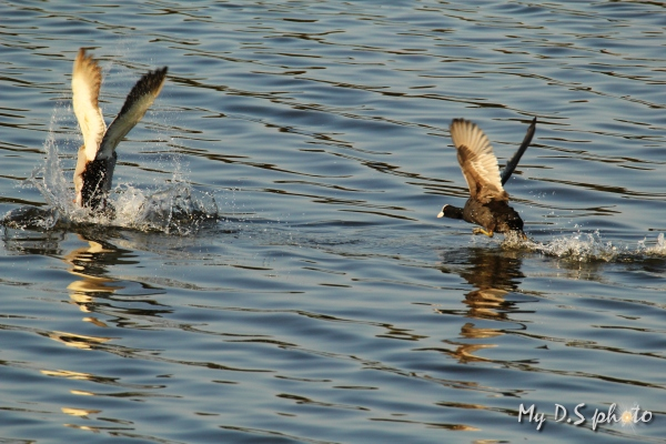 Coot chasing away a duck