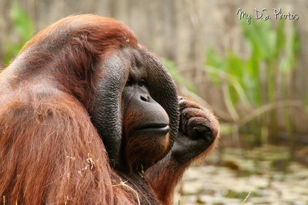 Orangutan thinking a lot