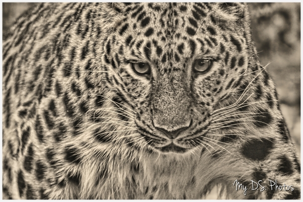 Amur leopard coming!