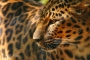 Amur Leopard with Tamron150-600mm