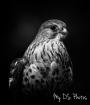 Tamron 150-600mm –Falcon