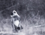 Tufted grey Langur – Tamron150-600mm