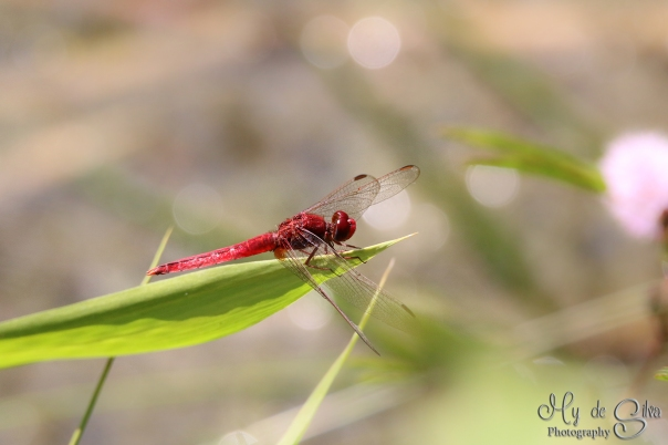 Red dragonfly (Oriental Scarlet Crocothemis servilia), its a male. Male is totally red colored and female is olivaceous brown in color. It lives everywhere near stagnant water reservoirs such as tanks, ponds and paddy fields. This shot is taken with my big lens, but I got it to look like macro photography. Its taken in India.