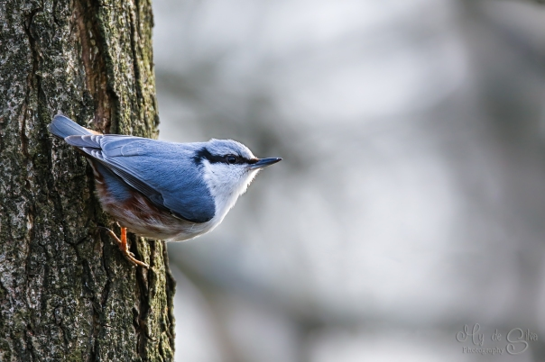 Nuthatch hanging on