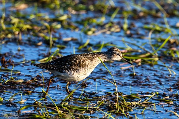 Sandpiper looking for food