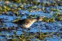 Sandpiper in sunset
