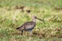 Eurasian Curlew with Tamron 150-600mm