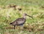 Eurasian Curlew with Tamron150-600mm